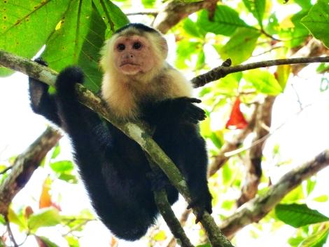 White Face Monkey Cahuita