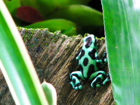 Little dart frog coming out to play!