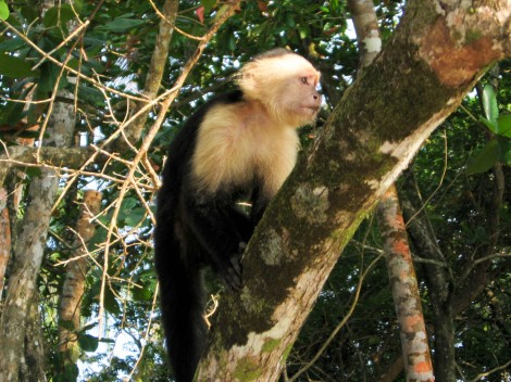 white face monkey, National Park of Cahuita