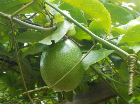 organic passion fruit