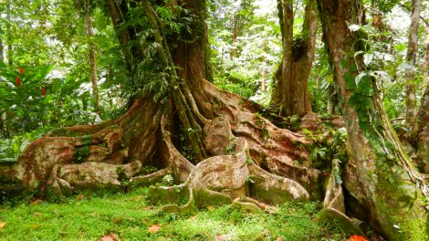 Ancient Caribbean Tree Roots