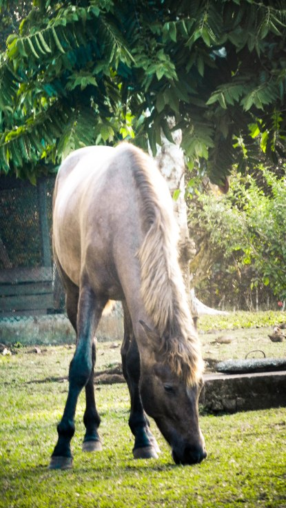 Nahar, Andalusian colt